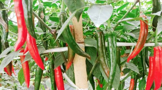 Nông trường trồng ớt