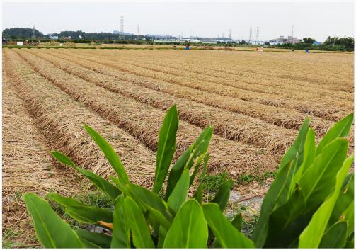 Hành củ vào vụ gieo trồng mới